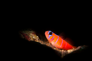Blue banded goby on sandy reef
