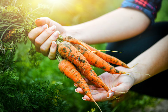Fresh carrots picked from bio farm or garden in woman hands.