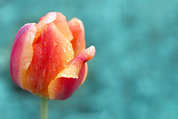 Fotobehang Tulp Orange tulip with red stripes, copyspace right