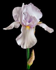 Deurstickers Iris white-cream isolated iris