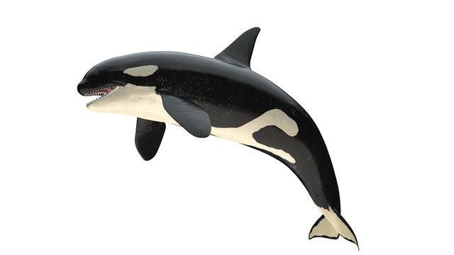 Isolated killer whale orca close mouth left side view on white background cutout ready 3d rendering