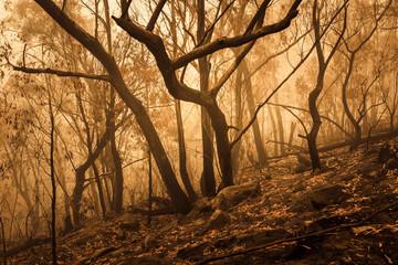 Bushfire burnt gum trees in The Blue Mountains in Australia