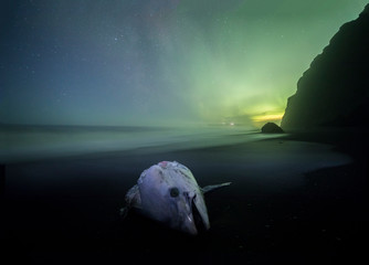 Wall Mural - Aurora Borealis (Northern Lights) above Dead Tuna fish, Iceland