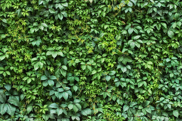 Canvas Prints Wall foliage plant background. hedge wall of green leaves.