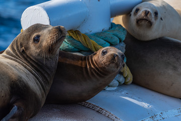 Group of California Sea Lions warming themselves on the floating buoy in the Santa Barbara Channel ocean.