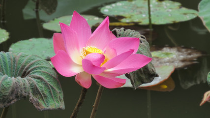 Single pink lotus flower after rain