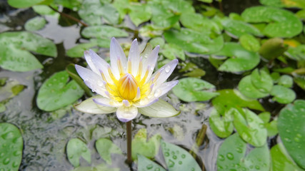 White and mauve lotus flower in pond