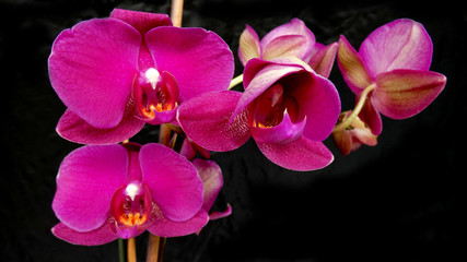 Pink orchids in bloom