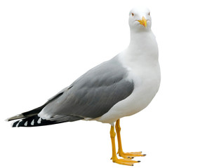 Fotobehang Vogel White and grey seagull isolated on white