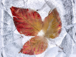 Red autumn leaves in ice