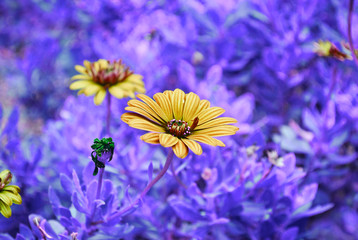 artistic natural flowers - yellow daisy on purple background