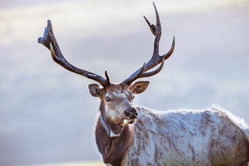 Close up of male Tule elk (Cervus canadensis nannodes) wearing a GPS tracker; Point Reyes National...