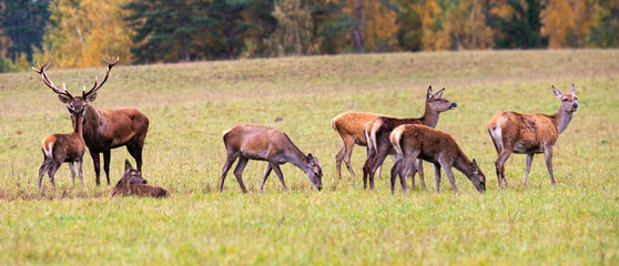 Photo sur Plexiglas Antilope Autumn idyll. A large family of deer led by a leader. Autumn panorama.
