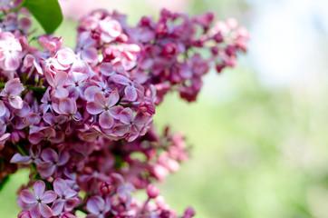 Foto op Aluminium Lilac Beautiful purple lilac flowers. Macro photo of lilac spring flowers.