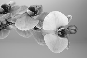 Tuinposter Orchidee Orchid in Black and White