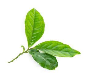 Obraz Studio shot organic green tea leaves branch isolated on white - fototapety do salonu