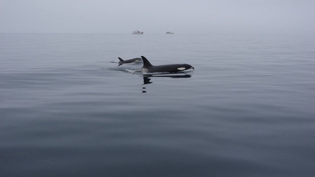 Orcas in a calm sea, Shiretoko in Hokkaido, Japan シャチと凪いだ海 北海道知床羅臼