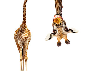 Foto auf Gartenposter Giraffe Fun cute upside down portrait of giraffe on white