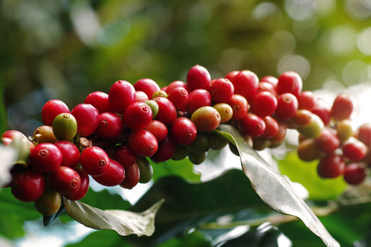 Close-up of coffee berries (cherries) grow in clusters along the branch of coffee tree growing under forest canopy (shade-grown coffee plantation) over blurred bokeh green leaves background.