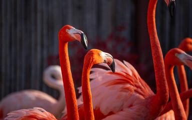 In de dag Flamingo flamingo pair