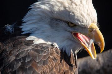 Acrylic Prints Eagle eagle