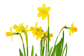 many daffodils on a white background