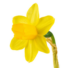 Poster Narcissus yellow daffodil on a white background