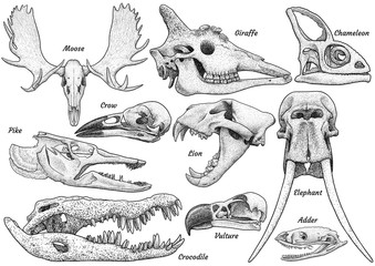 Animal skull collection, illustration, drawing, engraving, ink, line art, vector