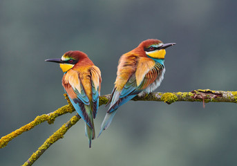 Two beautiful bee eater (Merops apiaster).