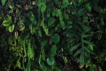 Wall Mural - Vertical garden nature backdrop, living green wall indoors garden with various tropical rainforest foliage plants (devil's ivy, ferns, philodendron, peperomia, and inch plant) on dark background.