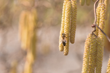 Corylus avellana -  honey bee collecting nectar on a hazelnut shrub in spring