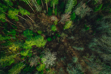 Green pine forest form above, Latvian woods captured with drone camera..