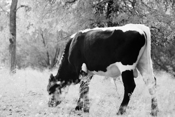 Wall Mural - Bull calf grazing Texas landscape in black and white.