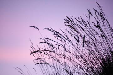Türaufkleber Flieder Silhouette d'herbes sur ciel au coucher de soleil. Silhouette of herbs on sky at sunset.