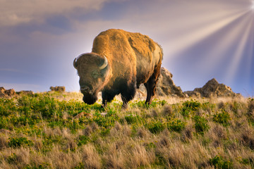 Bison at Antelop Island State Park, Utah