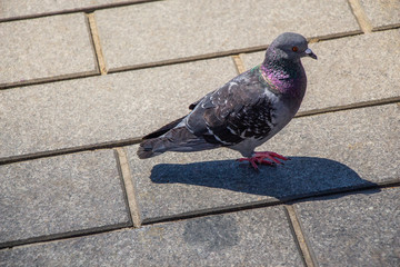 Lovely wild pigeon bird live in urban environment Wall mural
