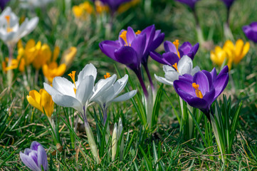 Deurstickers Krokussen Field of flowering crocus vernus plants, group of bright colorful early spring flowers in bloom