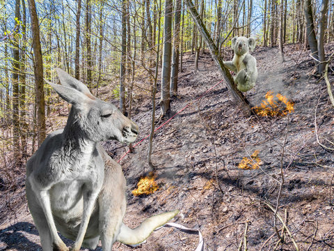 Känguru und Koala Buschbrände Australien Symbolisch