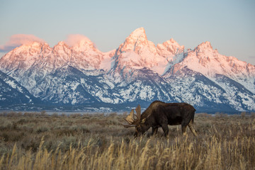 A bull moose eats grass in a field in front of the mountains in Grand Teton National Park.