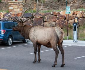 Bull Elk in a Parking Lot