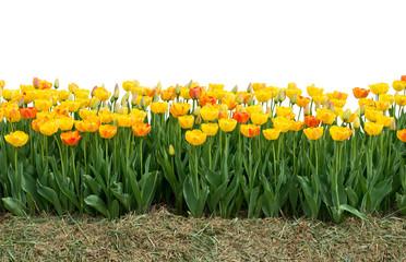 Keuken foto achterwand Tulp Yellow and red tulips isolated on white