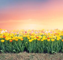 Spoed Foto op Canvas Tulp Colorful tulip field