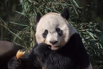 Wall Mural - Panda Bear Eating a Tasty Snack, Bifengxia Panda Reserve in Ya'an Sichuan Province, China. Panda