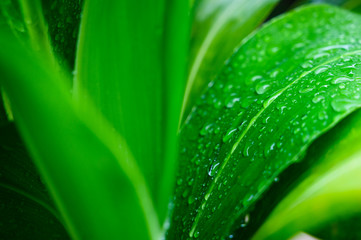 Wall Mural - Close-up large foliage of green tropical leaf texture with rain water drop, abstract nature background. spring time.