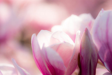 Photo sur Aluminium Magnolia closeup of beautiful shining magnolia flowers blooming in spring. Perfect background shot for mother's Day and Valentines's Day with copy space.