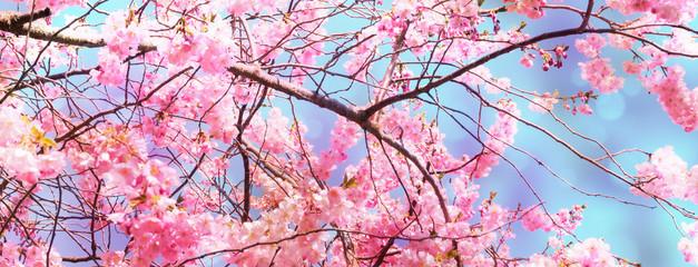 Keuken foto achterwand Kersenbloesem leuchtende kirschbaumblüten