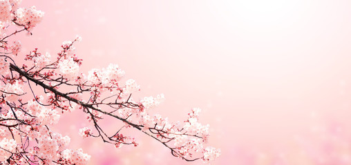 Beautiful magic spring scene with sakura flowers