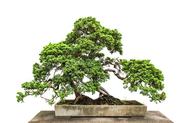 Foto op Plexiglas Bonsai Bonsai tree on white background