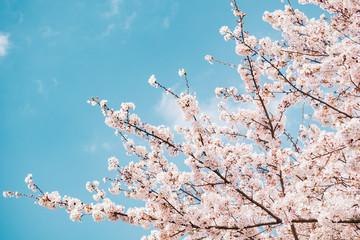 Autocollant pour porte Fleur de cerisier 満開の桜 晴天