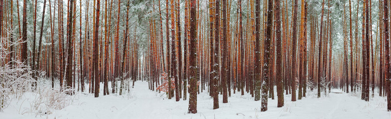 Poster de jardin Brun profond Wide panorama of the winter pine forest after a snowfall
